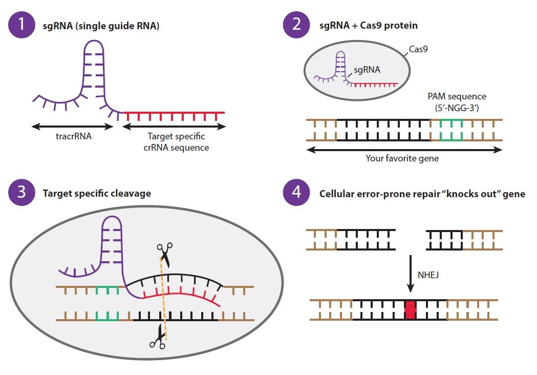 CRISPR gene editing knockout diagram
