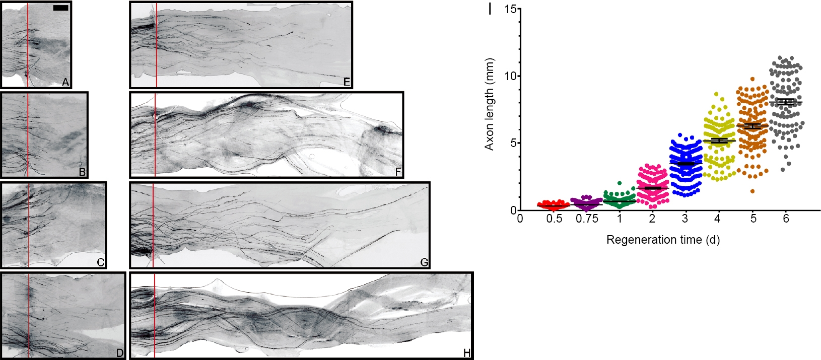 Representative images and quantification of regenerating sensory axons at different time points after nerve crush. Adapted from Figure 1 of Gao et al. 2020