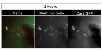 Co-localization of CRISPR /Cas9 (GFP) and HRasG12V (td-Tomato) observed 2 weeks after electroporation. Adapted from Figure 1B of Ogawa et al. 2018